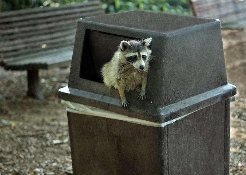 Raton laveur dans une poubelle... © Steve, Washington D.C., USA, CCA-SA 2.0 Generic license