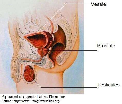 La cystite est plus rare chez l'homme car l'urètre est plus longue à remonter pour les bactéries. © DR