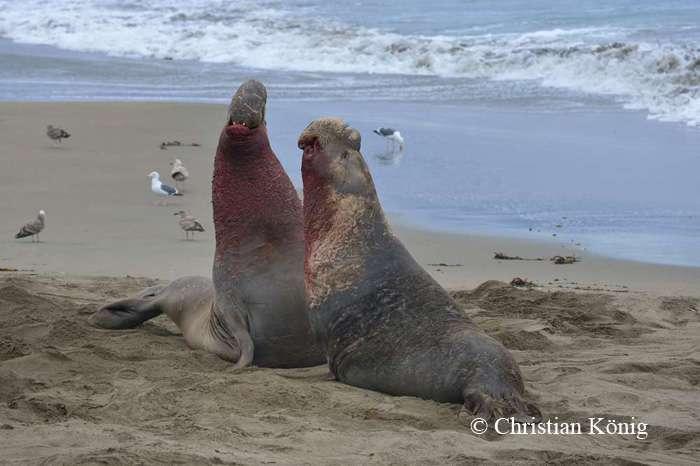 Éléphants de mer au combat. © Christian König - Tous droits réservés
