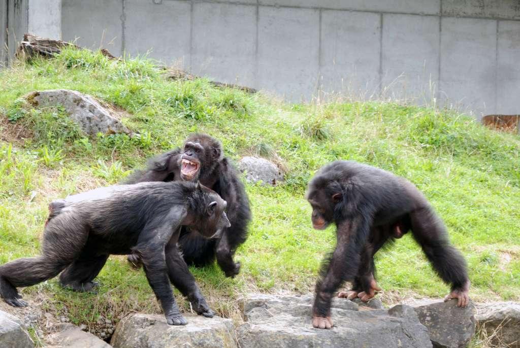 Chaque famille de chimpanzé est placée sous l'autorité d'un mâle alpha. La position hiérarchique n'est pas liée à la taille. Chaque individu peut changer de niveau social grâce à son intelligence et en gagnant la confiance des autres. Les médiateurs, de rangs élevés, sont donc des singes reconnus et respectés par la communauté. © Claudia Rudolf von Rohr