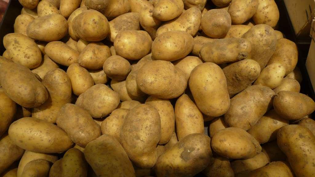 La belle de Fontenay est une variété précoce de pommes de terre. © Spedona, CC by-nc 3.0