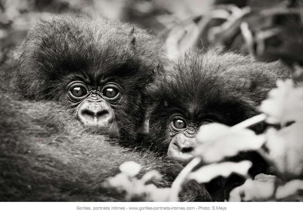 Bébés gorilles sortant la tête