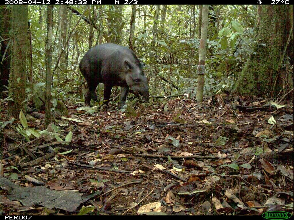 Cliché de tapir terrestre pris avec un appareil à déclenchement automatique dans une forêt du Pérou. © siwild, Smithsonian Institute Wild, Flickr, cc by nc sa 2.0