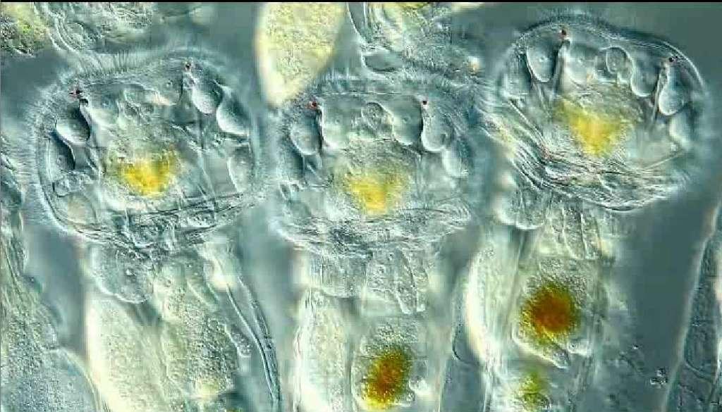 Trois rotifères filmés au microscope. Les structures vaguement circulaires et bordées de cils font office de bouche et d'anus. Des organes sont visibles dans cette ouverture et par transparence, témoignant de la complexité de ce petit animal, qui occupe une place assez particulière dans la classification. © Ralph Grimm (Jimboomba, Queensland, Australie)