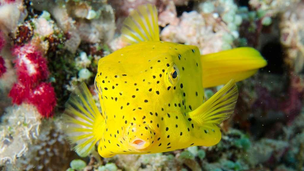 Un poisson-coffre jaune parmi les récifs coralliens