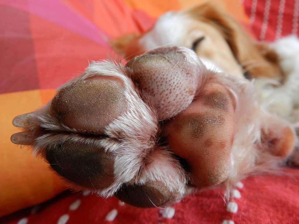 La plupart des glandes sudoripares du chien sont concentrées sous ses pattes. Ceci explique les difficultés de l'animal à réguler sa température interne. © Nathalie Mayer