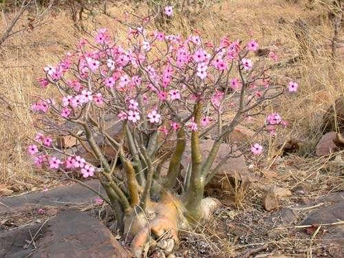 """Apocynaceae - Adenium obesum Roem & Schult - """"Baobab du chacal"""", caractéristique des zones sèches d'Afrique de l'Ouest, Koundian, Kéniéba (Mali) © Photo Philippe Birnbaum, 2004 - Tous droits de reproduction réservés"""