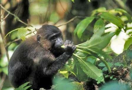 Macaque maure se nourrissant. © Shuichi Matsumura, GNU FDL Version 1.2