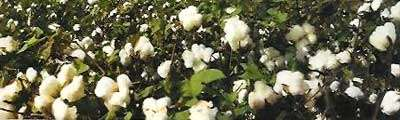 Le coton permet d'obtenir de la laine de coton pour l'isolation. © La Toison Dorée