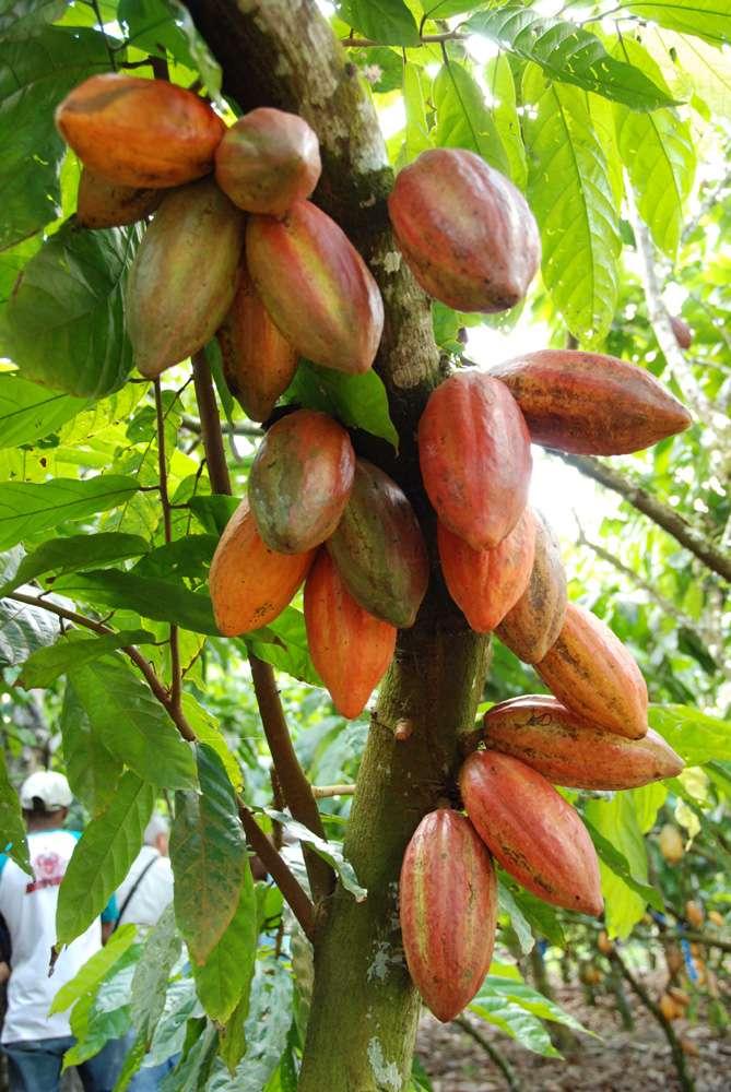 Cabosses de cacao au Brésil. © S. Bonnat