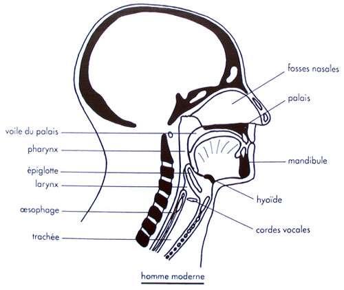 Larynx chez l'Homme moderne. © DR