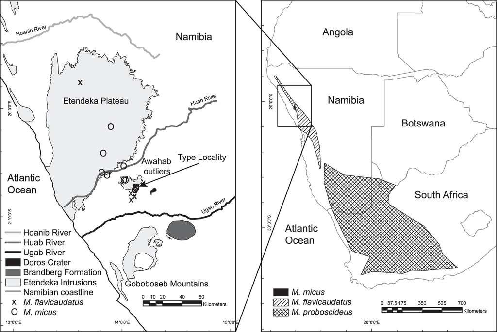 M. micus a été découvert dans le nord-ouest de la Namibie. © Dumbacher et al., Journal of Mammalogy 2014