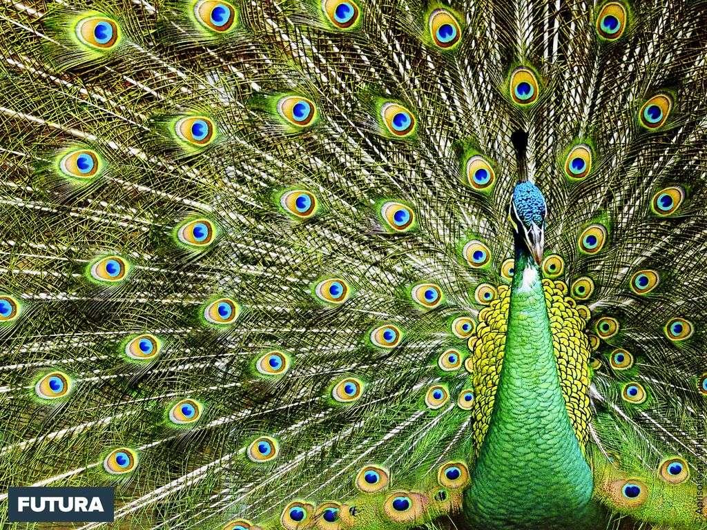 Le paon, l'oiseau sacré de l'Inde symbole de beauté et d'immortalité
