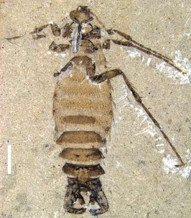 Cette puce géante a été retrouvée dans des couches du Crétacé inférieur, dans la commune de Huangbanjigou, en Chine. © Huang et al. 2012, Nature