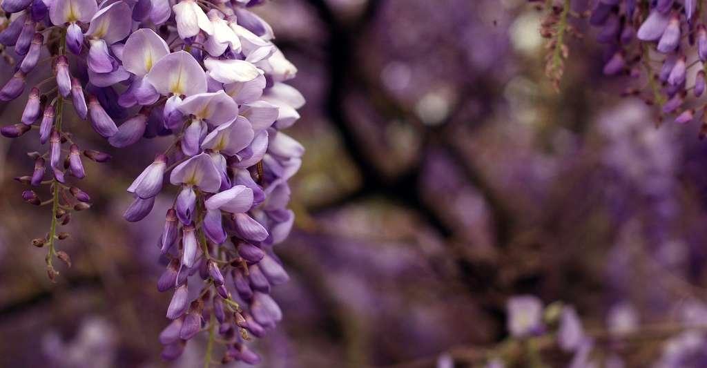 La glycine est l'une des plantes préférées des papillons et des abeilles, mais aussi des bourdons. © CarlottaSilvestrini, Pixabay, CC0 Creative Commons