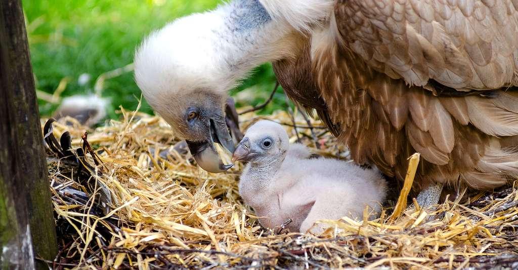 Que savons-nous de la reproduction des rapaces ? Ici, un vautour et son poussin. © Mathias Appel, DP