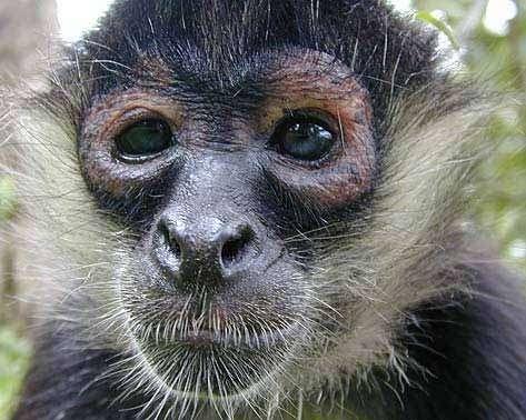 Face de singe araignée