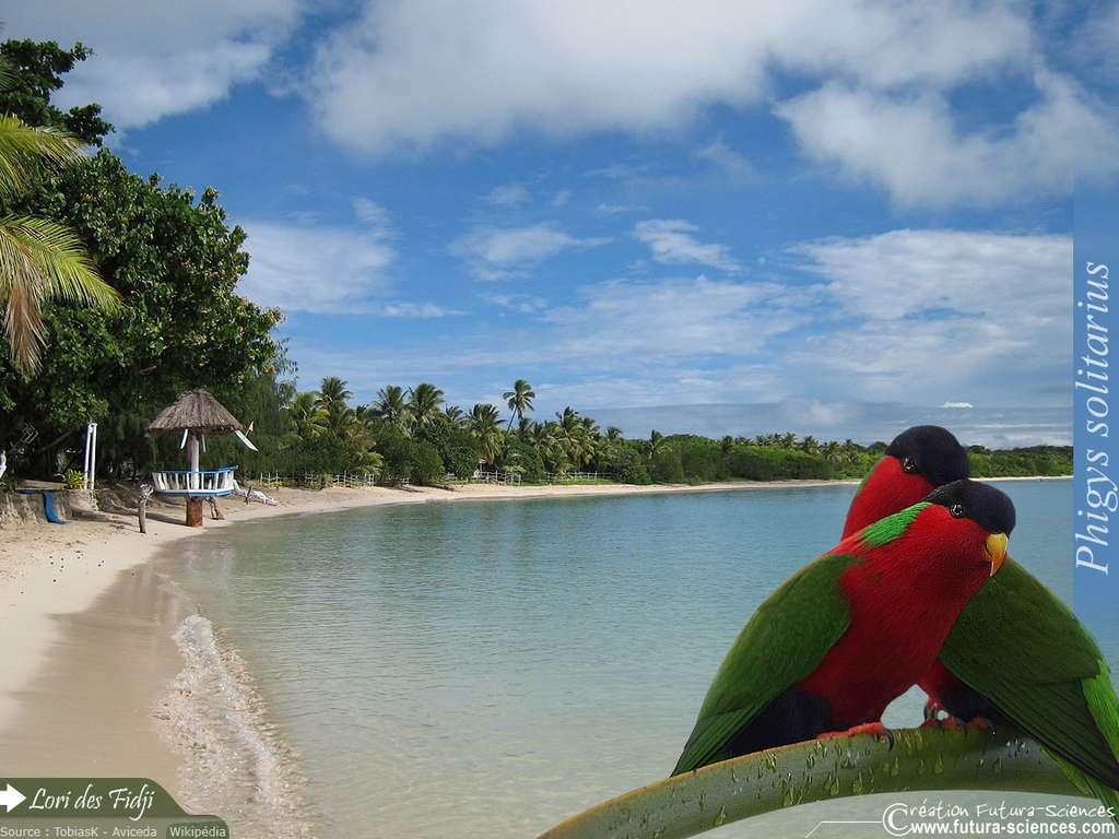 Lori des Fidji