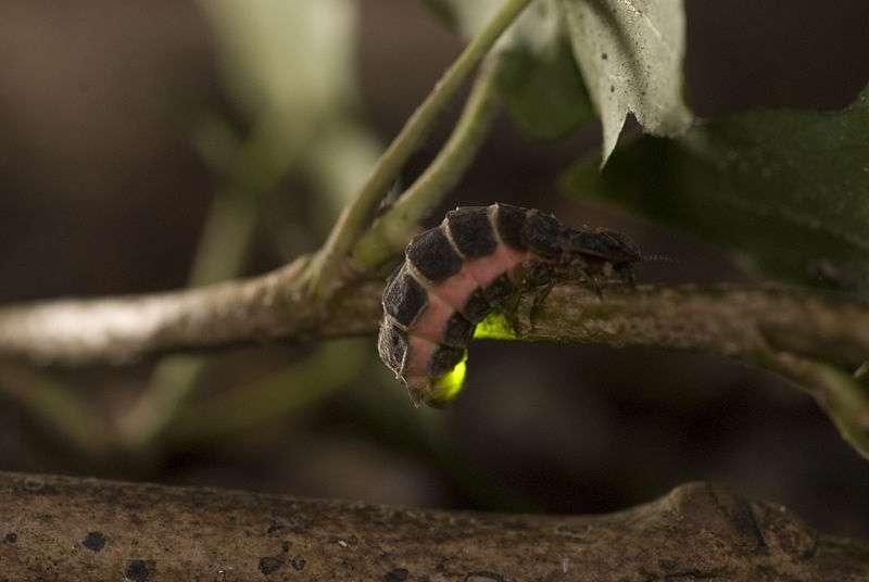 Lampyre femelle. © Jasja Dekker, CCA-SA 2.0 Generic license