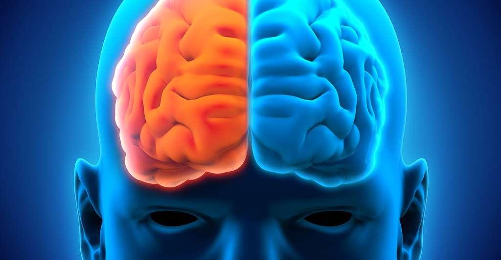 Lobes droit et gauche du cerveau. © Nerthuz, Shutterstock