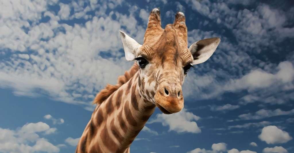 Avec seulement deux heures de sommeil par jour, la girafe est l'animal qui dort le moins. © Sponchia, Pixabay, CC0 Public Domain