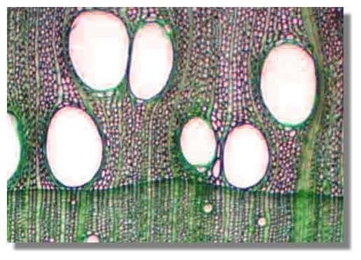 Figure 19. Coupe transversale de bois de chêne. La section est effectuée à la limite de deux cernes. En bas, le bois d'été (année n) dans lequel on distingue quelques petits vaisseaux. En haut, le bois de printemps (année n + 1) dans lequel on observe de nombreux vaisseaux de très fort diamètre. Des rayons (certains très fins, certains très épais) traversent les cernes de haut en bas. Ils sont sinueux au contact des gros vaisseaux. © Photo R. Prat
