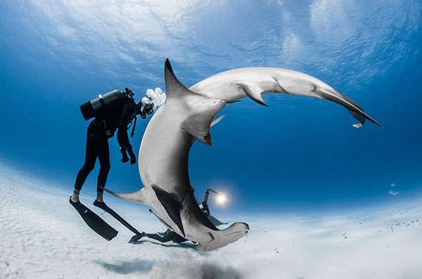 Steven a travaillé aux Bahamas en 2015. À cette occasion, il a cumulé des rencontres incroyables avec les grands requins-marteaux (Sphyrna mokarran) sur l'île de Bimini. Grâce à leur tête en forme de marteau, ces requins sont extrêmement hydrodynamique et peuvent effectuer des rotations à 360° sur le même axe sans bouger d'un cm ! © Greg Lecoeur, tous droits réservés