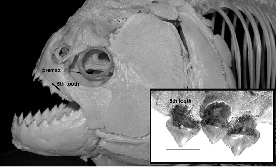 Le crâne d'un piranha noir Serrasalmus rhombeus. Sa mandibule inférieure est particulièrement impressionnante. L'encadré montre des dents du mégapiranha Megapiranha paranensis aujourd'hui disparu. © Adapté de Grubich et al. 2012, Scientific Reports