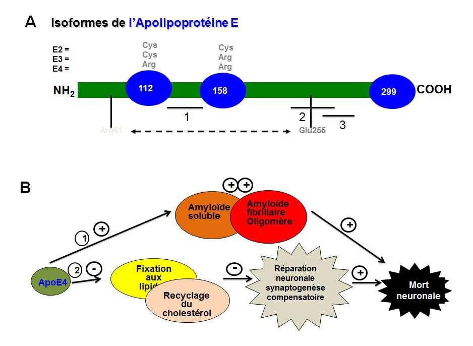 L'allèle E4 de l'apolipoprotéine (ApoE4) est un facteur de risque pour la maladie d'Alzheimer. © DR