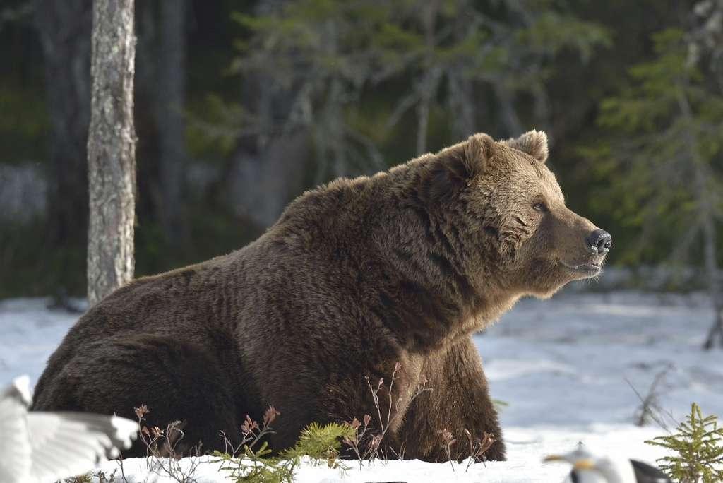 Les animaux qui hibernent possèdent du tissu adipeux brun, qui produit de la chaleur. © Sergey Uryadnikov, Shutterstock