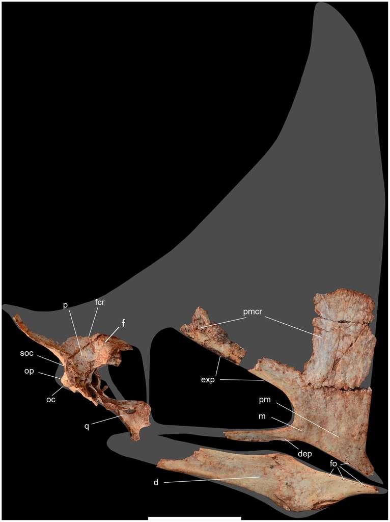 Le crâne d'un adulte. La bouche est en bas à droite avec la mâchoire inférieure (d) et l'os maxillaire (m). Au centre, en noir, la cavité oculaire. © Paulo Manzig/Plos One