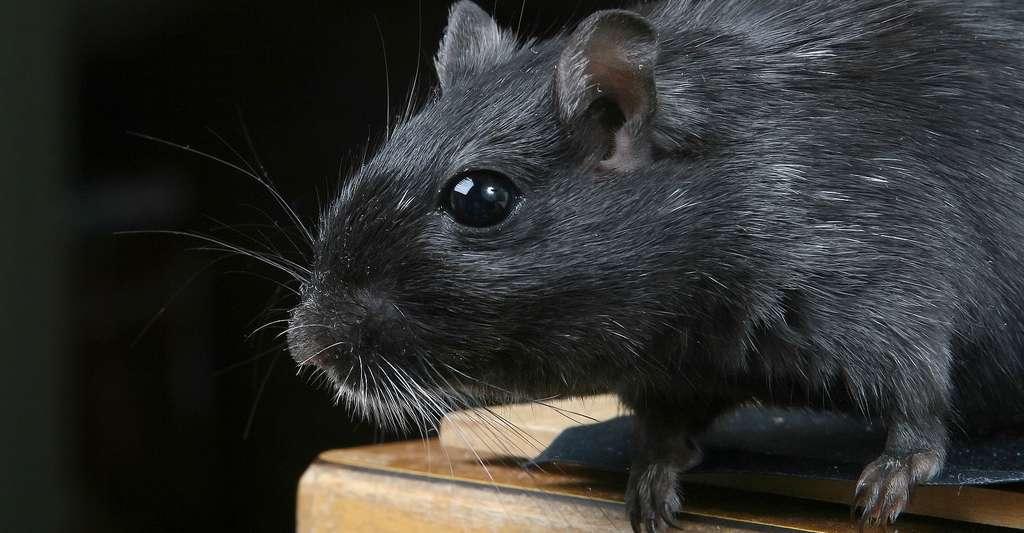 Rat. © Meditations CCO