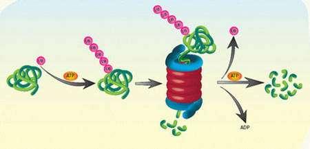 Fonctionnement du système ubiquitine-protéasome. L'ubiquitine (UB) se lie à la protéine à dégrader (en vert). La dégradation a lieu dans un système multiprotéique appelé protéasome. De l'énergie est utilisée sous forme d'ATP hydrolysée en ADP.Source : Weizmann Institute of Science (site: http://www.weizmann.ac.il).