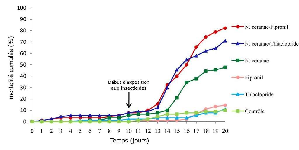 Graphe montrant la mortalité des abeilles au cours du temps, suivant les différents traitements subis (contrôle, juste un insecticide, juste le champignon pathogène et le mélange champignon pathogène + insecticide). Le cas échéant, l'exposition à l'insecticide a lieu au 10e jour. © Vidau et al., 2011