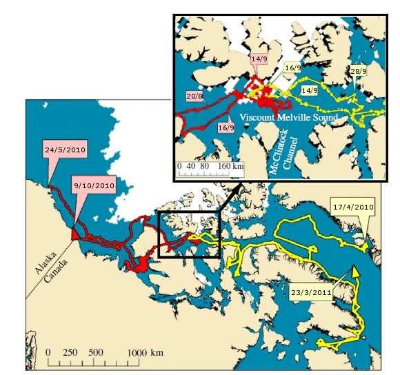 Parcours des deux baleines mâles dont les trajets se sont croisés en septembre 2010. © Heide-Jørgensen et al. 2011 - Biology Letters