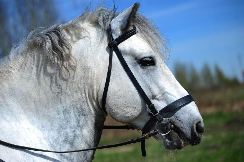 Le percheron est un cheval emblématique du Perche. © jennyrainbow, Fotolia