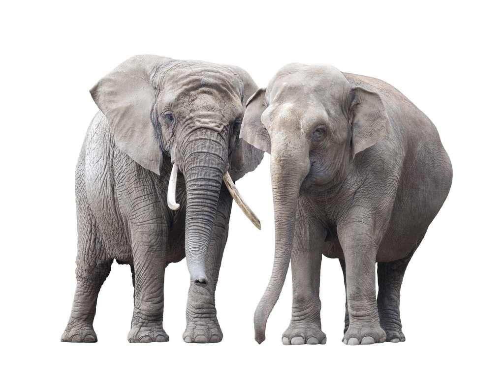 Les éléphants d'Afrique (à gauche) et d'Asie (à droite) sont apparus avec l'émergence de la savane. © Jakub Krechowicz, Adobe Stock