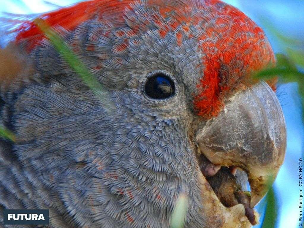 Cacatoès à tête rouge - Callocephalon fimbriatum