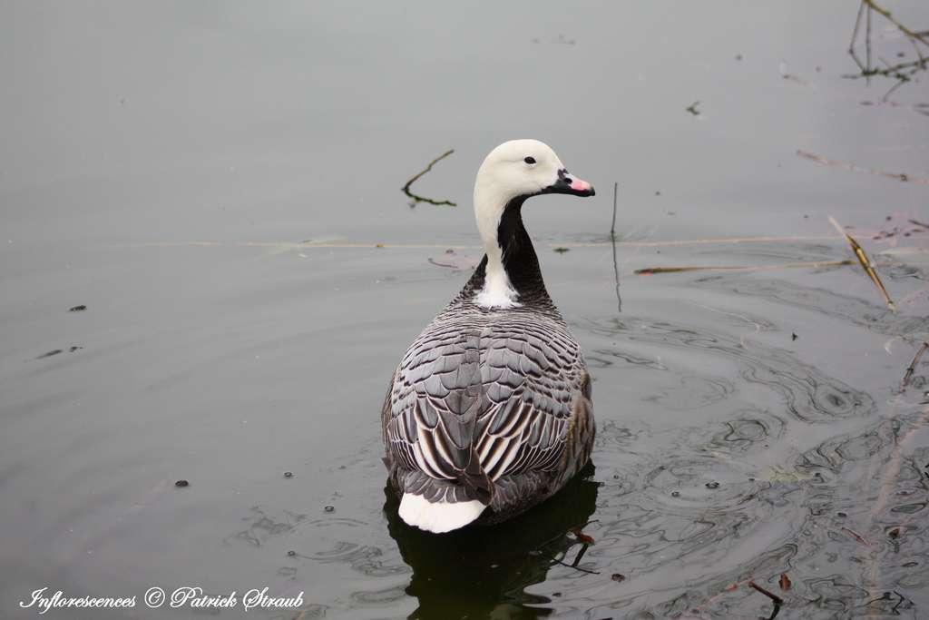 Oie empereur. Le mâle et la femelle de cette espèce possèdent le même plumage. © Patrick Straub
