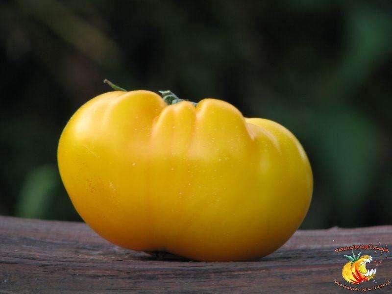 La tomate jaune Limmony possède une touche acidulée qui fait penser au citron. © Tomodori