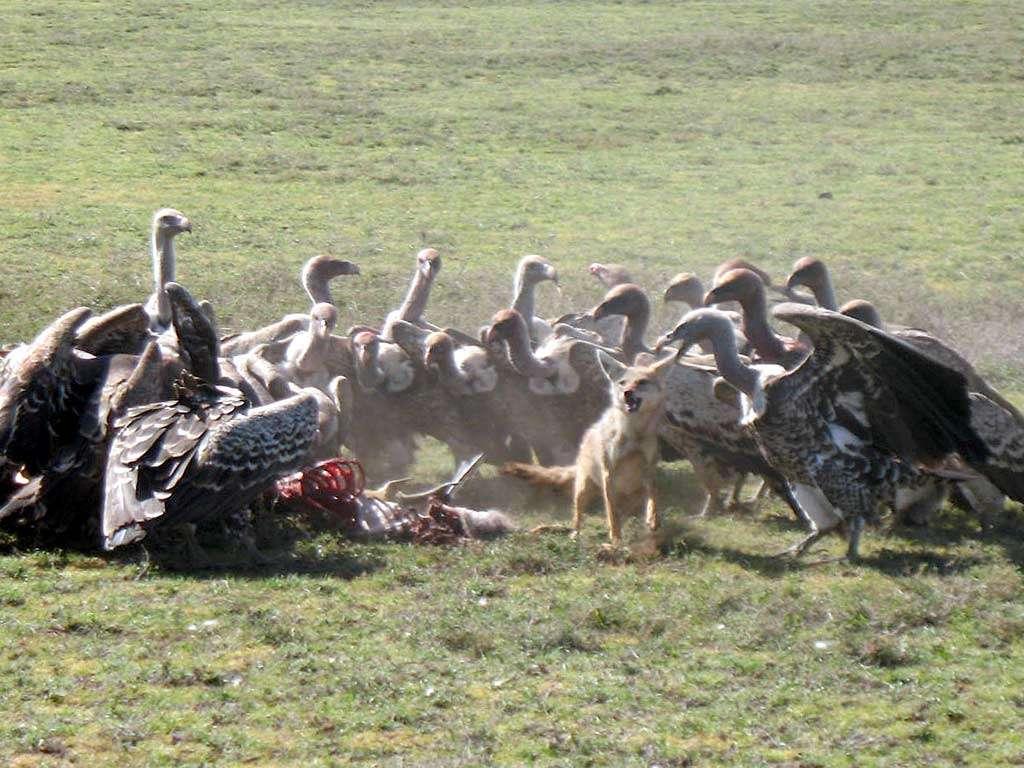 Chacal disputant sa proie aux vautours. © kibuyu, CC BY-NC-SA 2.0