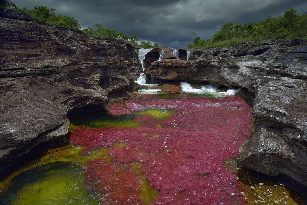 Caño Cristales : une rivière empourprée par la Macarenia clavigera