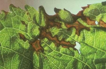 Pseudomonas syringae Abricotier