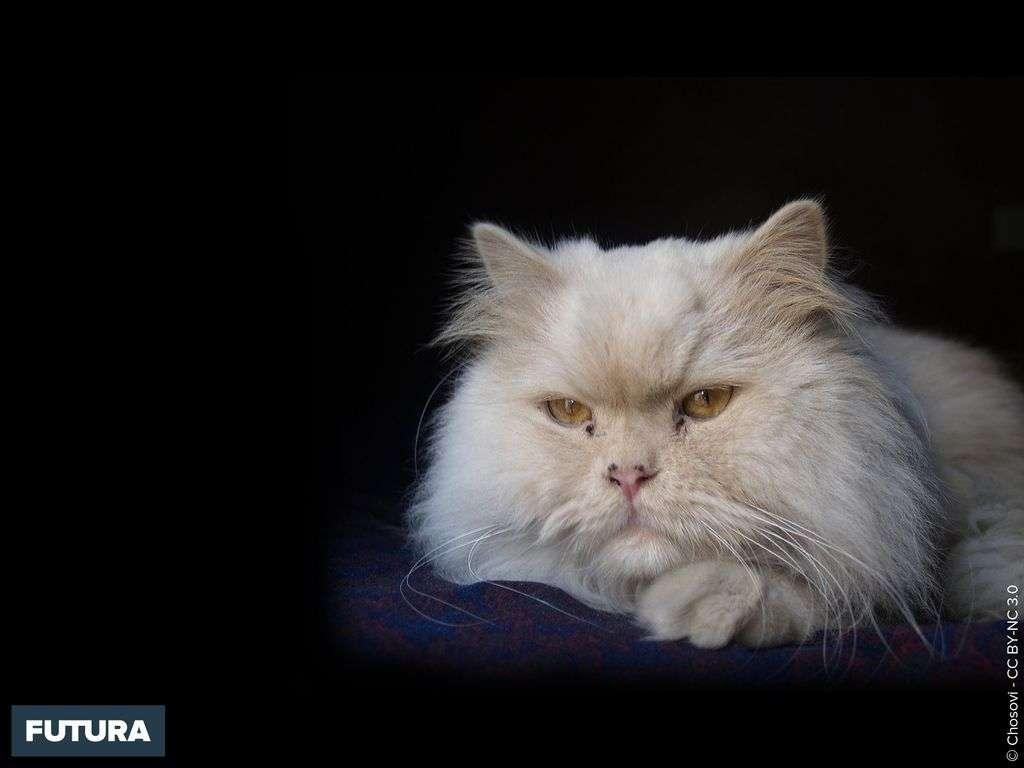 Beauté du Chat Persan