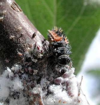 Chenille de Coccinelle asiatique mangeant des pucerons lanigères, licence GFDL © Pollinator, wikipedia.