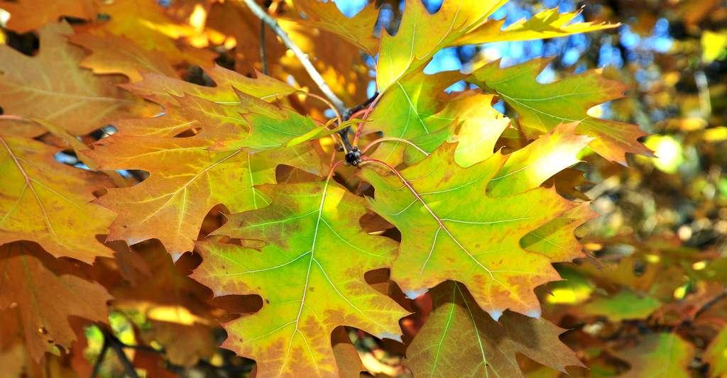 Quercus palustris, le chêne des marais © Petrovichlilin, Shutterstock