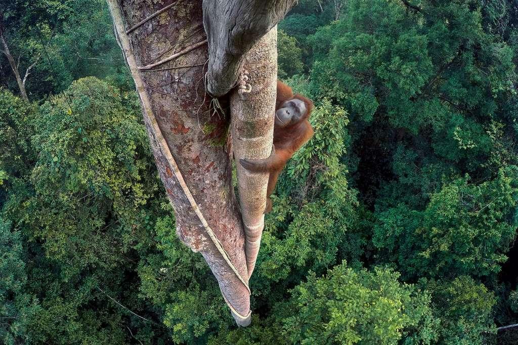Dans la forêt de Bornéo, qui se réduit comme peau de chagrin au profit de l'industrie de l'huile de palme, un jeune mâle orang-outan vient faire ses courses. © Tim Laman, 2016 Wildlife Photographer of the Year