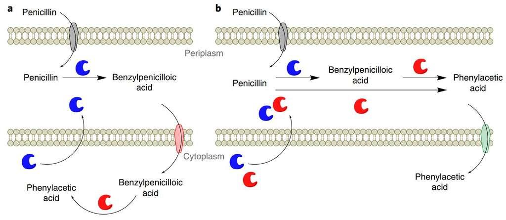 Mécanismes supposés du catabolisme de la pénicilline chez les bactéries du sol (en a) et chez les Escherichia coli modifiées (en b). La pénicilline pénètre à travers la membrane externe (caractéristique des bactéries Gram-négatif) dans le périplasme, espace intermédiaire entre les deux membranes. Les enzymes bêta-lactamases (en bleu) catalysent la réaction la transformant en acide benzylpénicillique. En a, une protéine membranaire (en rouge clair) transporte ce dernier dans le cytoplasme où il est dégradé en acide phénylacétique par d'autres enzymes (en rouge). Le mécanisme est similaire chez E. coli modifiée, à ceci près que la dégradation se déroule intégralement dans le périplasme. La compréhension de ces réactions ouvre peut-être des pistes pour les exploiter. © Terence S. Crofts et al., Nature