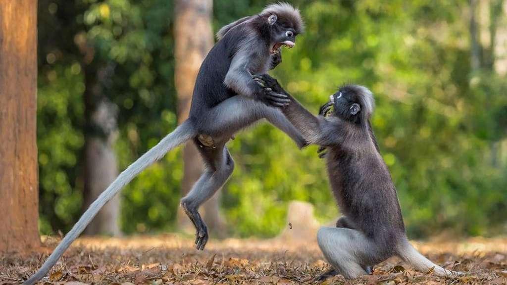 Du rififi chez les macaques