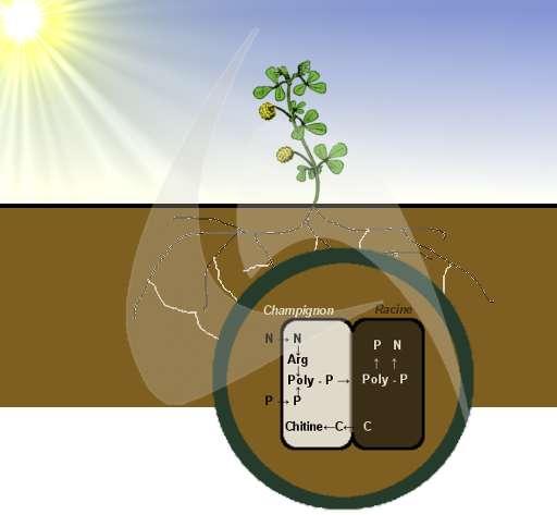 La symbiose entre les plantes et les champignons correspond à un échange de nutriments contre des glucides. Les nutriments du sol (ici l'azote N et le phosphore P) sont captés par le champignon. Les atomes de phosphore forment le polyphosphate (Poly-P) qui est capable de fixer l'arginine, formée à partir de l'azote. Les polyphosphates passent la barrière champignon-plante puis ils sont traités par la plante. Le carbone (C) fait le chemin inverse, de la racine au champignon, où il participe à la formation de la chitine. © Bruno Scala/Futura-Sciences